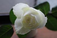 寂しい雨と白いバラ - 空色のココロ~小さな幸せを探して~