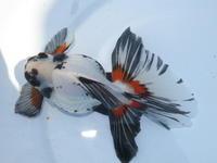 6月21日新着金魚のご紹介です。その2 - フルタニ金魚倶楽部blog