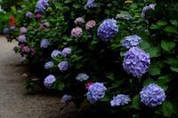 紫陽花コーナー - MAKO'S PHOTO