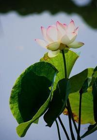 紅爪茶碗蓮の白い蓮の花が開きました。 - 蓮華寺池の隣5