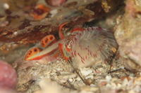 ホムラハゼ - Diving Photo