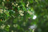 初夏の花 ~テイカカズラ~ - 但馬・写真日和