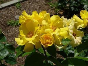 長居植物園のバラ園 - 彩の気まぐれ写真
