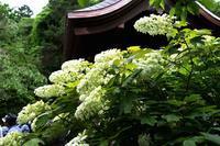 八重咲の柏葉アジサイ - くにちゃん3@撮影散歩