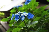 山アジサイが咲く---自由散歩@撮影2017-4 - くにちゃん3@撮影散歩