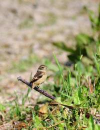 ノビタキのフライト訓練 - ノラニンジンの咲く庭