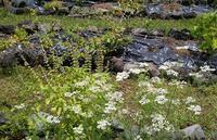 パクチーとレモンバジルの花 - Nature Care