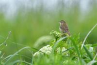 シマセンニュウ - ごっちの鳥日記