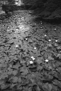 睡蓮の池。 - SunsetLine