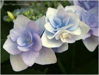 淡い紫陽花 - caetla