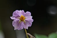 ジャガイモの花が咲いた ! ! - 玉家の生存報告