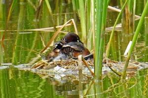 ★バンが上の池でも営巣を始めました・・・先週末の鳥類園(2017.6.17~18) - 葛西臨海公園・鳥類園Ⅱ