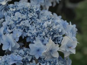 『紫陽花コレクション(フラワーパーク江南)』 - 自然風の自然風だより