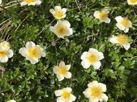 チングルマとワタスゲのお花畑  <蔵王>御田ノ神湿原-初夏- - 続・まいにちわたし