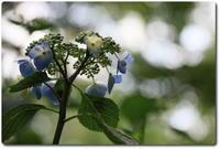 御所で紫陽花 - chrysalis