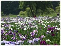 梅雨ならではの花を観に、神楽女湖から志高湖へ - さくらおばちゃんの趣味悠遊