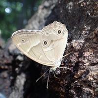 樹液を吸うヒカゲチョウ Lethe sicelis - 写ればおっけー。コンデジで虫写真
