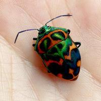 ニシキキンカメムシが - 蝶と