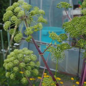アンジェリカ - sola og planta ハーブとお花のお庭日記