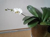 胡蝶蘭(その後~花が咲きました!) - てくてく*