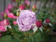 庭の薔薇 「ノヴァーリス」 (2017年 5月) - 春&ナナと庭の薔薇