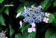 雨アジサイ - ジージーライダーの自然彩彩