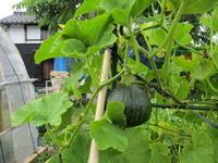 雨後に瑞々しく成長する野菜&ジェノベーゼ - 島暮らしのケセラセラ