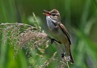 ・オオヨシキリ - 鳥見撮り