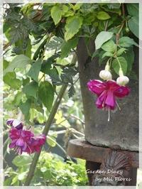 Fuchsia - Garden Diary