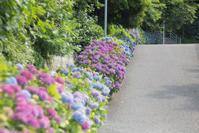 走水の紫陽花① - 光の贈りもの