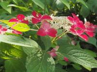 6月の花の寺 - ねこ飛び出し注意