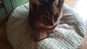 靴下を履いた猫…よろしくないね( ノД`)… - ごまめ家族日記