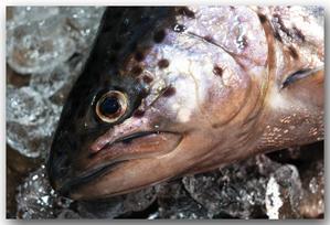 信州サーモン/長野県水産試験場で養殖されたご当地サーモン - 魚屋三代目日記