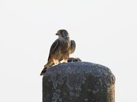 チョウゲンボウの餌渡し - 『彩の国ピンボケ野鳥写真館』