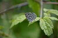 ゴイシシジミ 6月22日 南信にて - 超蝶