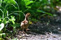 スピード注意!・・・エゾライチョウ。 - 野鳥のさえずり、山犬のぼやき