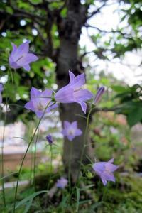 涼しい梅雨 - リリ子の一坪ガーデン