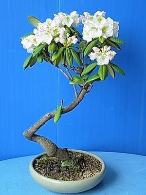 シャクナゲ - 盆栽亭「英樹」