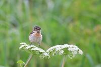 ノビタキ - ごっちの鳥日記