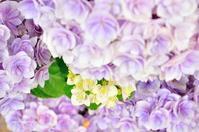 久々更新&紫陽花 - ゆっくり、ぱちぱちり