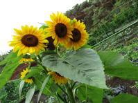 梅雨の晴れ間の収穫 - 畑へ行こう♪