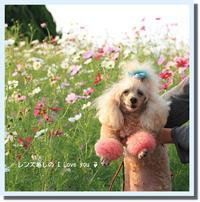 秋桜3*国営ひたち海浜公園♪ - 君の瞳に恋してる♪