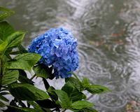 雨の日にアジサイ - 星の小父さまフォトつづり
