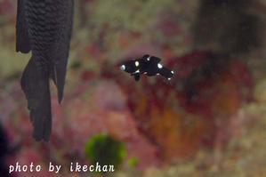 闇夜のカラス ~スミツキベラ幼魚~ - 池ちゃんのマリンフォト