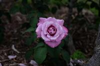 薔薇  2017  若園公園バラ園 - 写真部