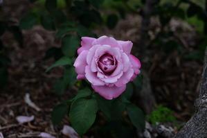 薔薇2017若園公園バラ園 - 写真部