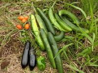 今日の収穫1 - 素人百姓日記(有機無農薬野菜作りの記録)