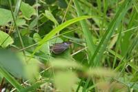■ ゼフ 落穂拾い   17.6.22   (ミドリシジミ、ウラゴマダラシジミ) - 舞岡公園の自然2