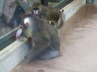 6月11日の、のんほいパーク - 黄金絹毛鼠(コガネキヌゲネズミ)