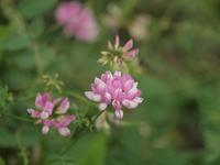 『玉咲草藤(タマザキクサフジ)と西洋風蝶草(セイヨウフウチョウソウ)等の花達・・・・・』 - 自然風の自然風だより